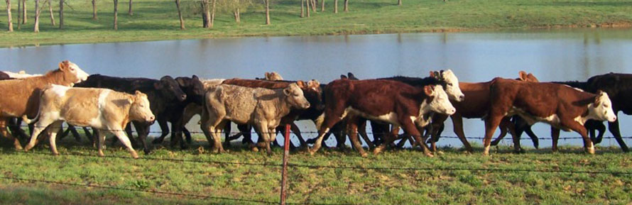 Cattle pic