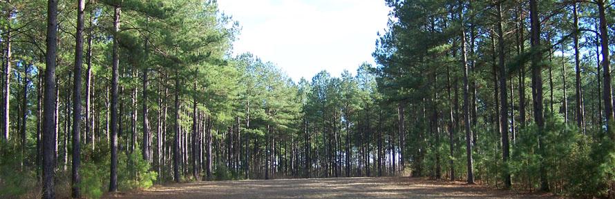 Pine pic-3